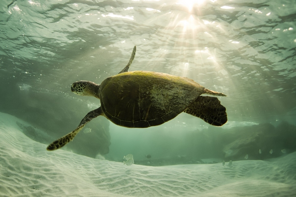 green sea turtle under the morning sun  © Anders Carlson