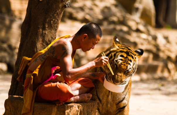Monk and Tiger sharing their meal (by Wojtek Kalka)