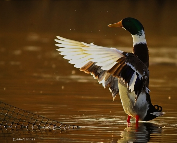Mr. Duck Conductor (by Eddie Yu)